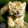 Фотография Lynx